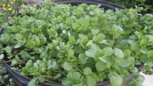 Watercress - Amazing Health Benefits for Prevention of Cancer