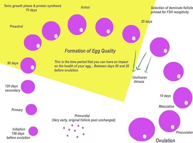Fertility Egg Cycle